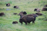 Even More Bison