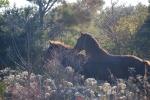 Corolla Wild Horses - 1