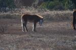 Corolla Wild Horses 2