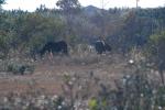 Corolla Wild Horses 4